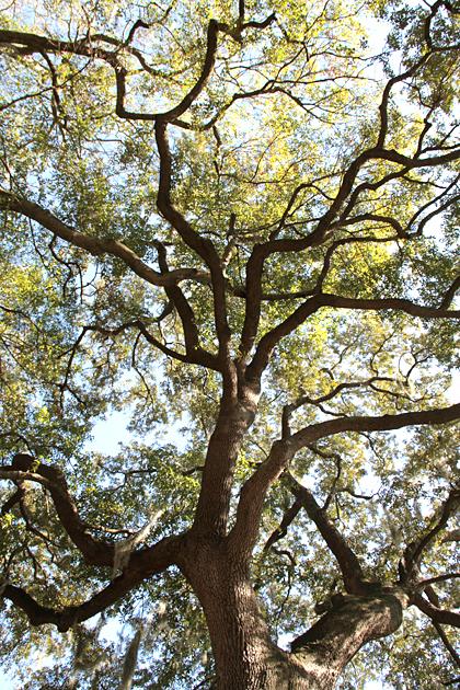 Impressive Tree Savannah