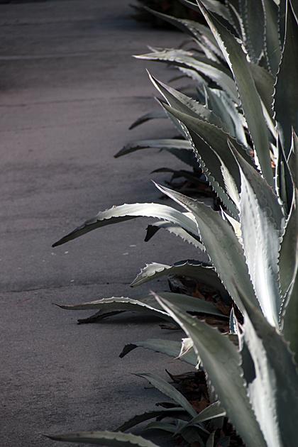 Savannah Aloe Very