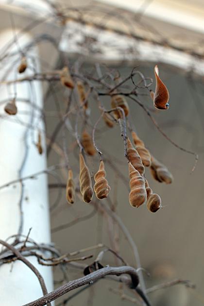 Savannah Seeds