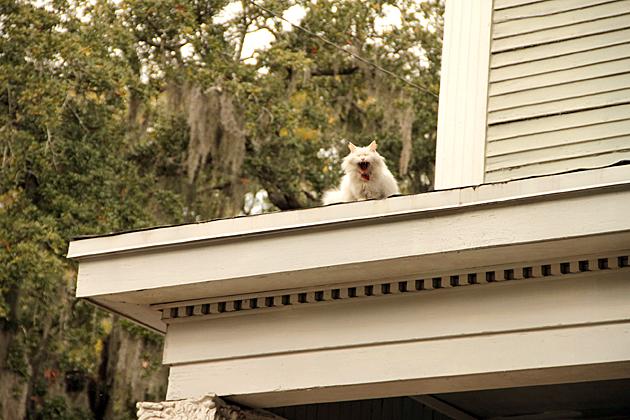 Singing Cat of Savannah