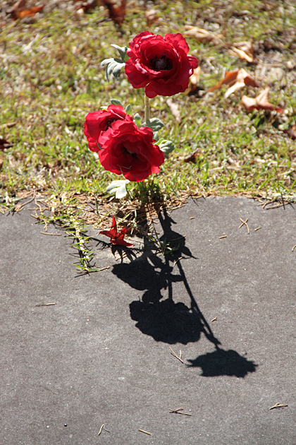 grave roses
