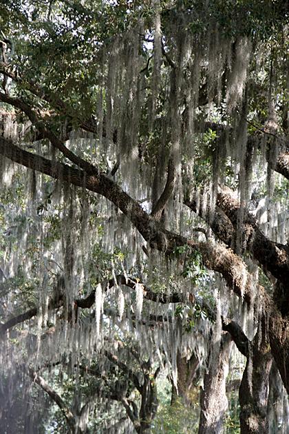 savannah tree 1